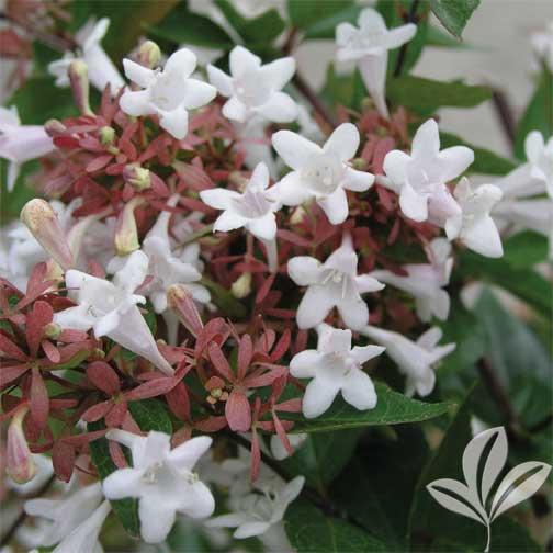 Abelia Grandiflora Premier Nursery