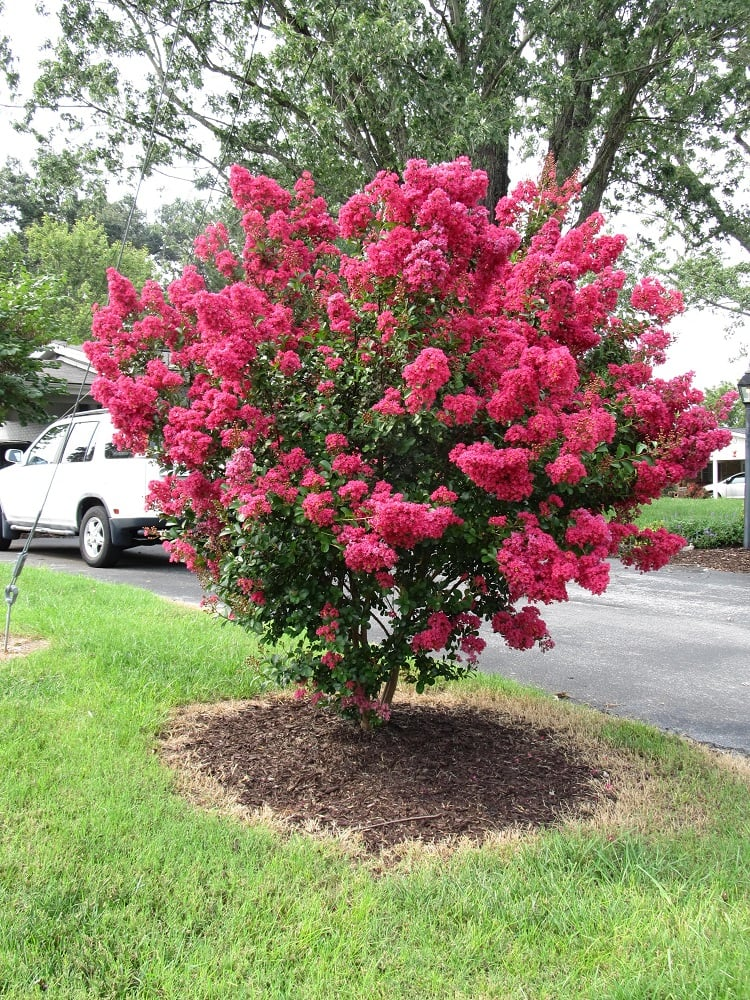 Crape Myrtles Summer Color That Beats The Heat Premier